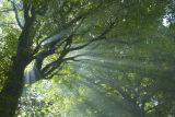 Beech Tree and Sun Rays