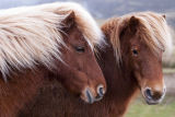Dartmoor Pony Pair