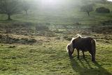 Dartmoor Pony in Light