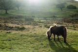 Dartmoor Pony on the Moor