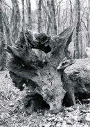 tricerotops tree stump.