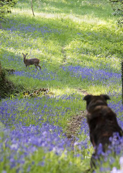 Dog watching deer watching dog.