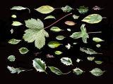 variegated foliage.