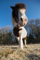Dartmoor x Shetland Pony