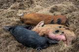 Three Pigs.