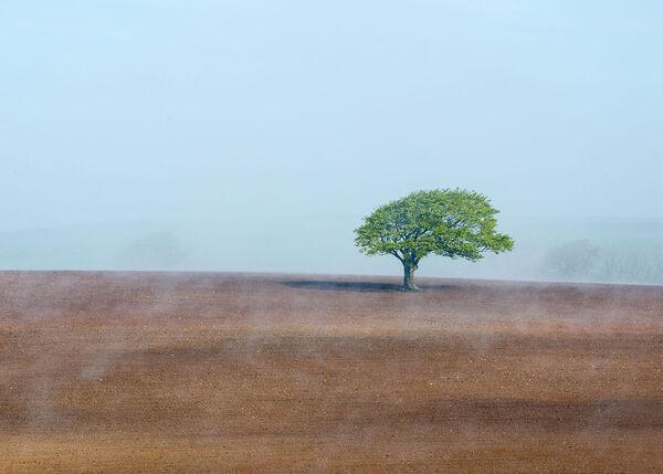 Oak in  wispy mist.