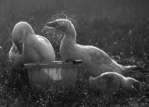 Bathing geese.