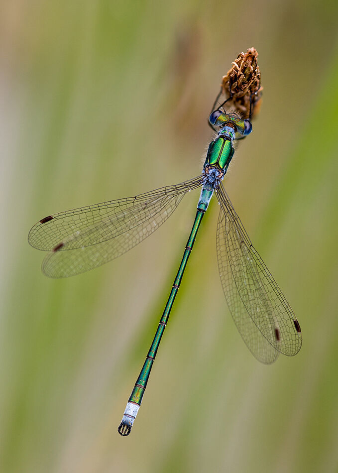 Emerald damselfly.