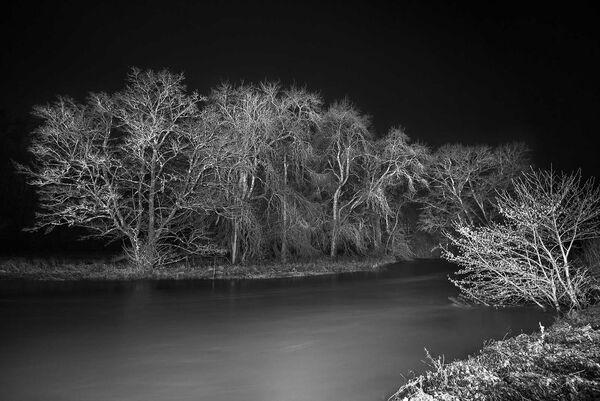 Venerable ash trees at night.