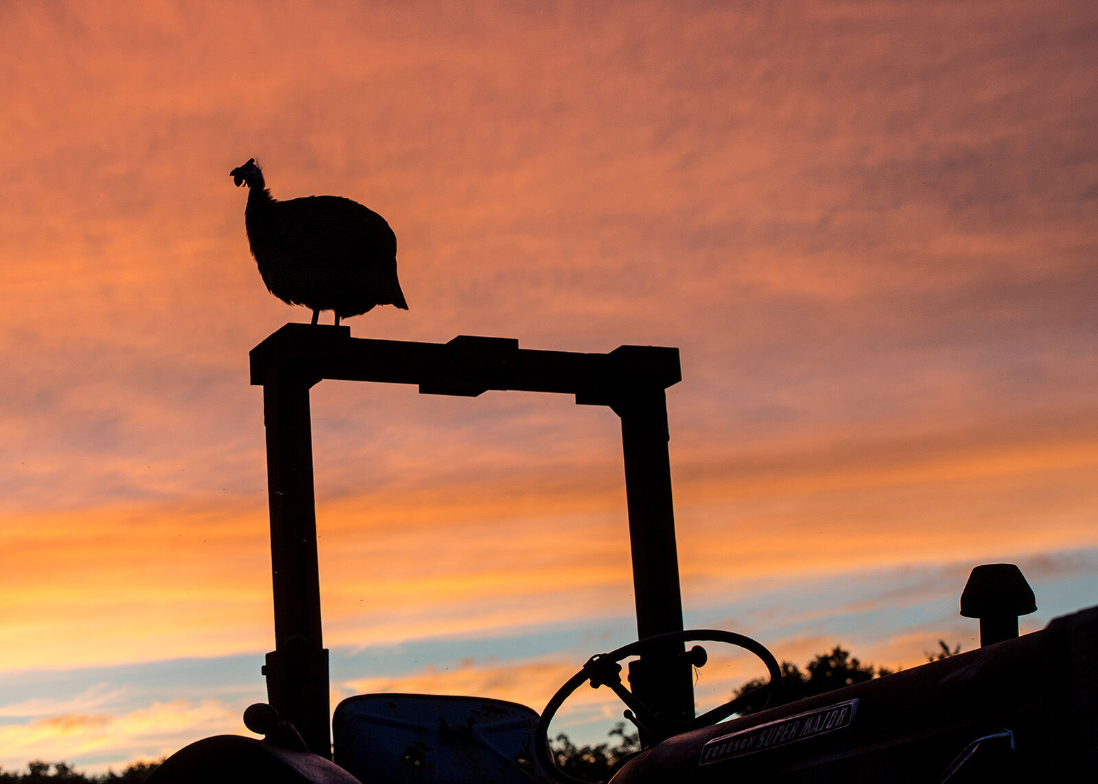 Guinea fowl on old tractor.