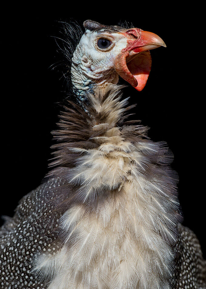 Guinea fowl portrait.