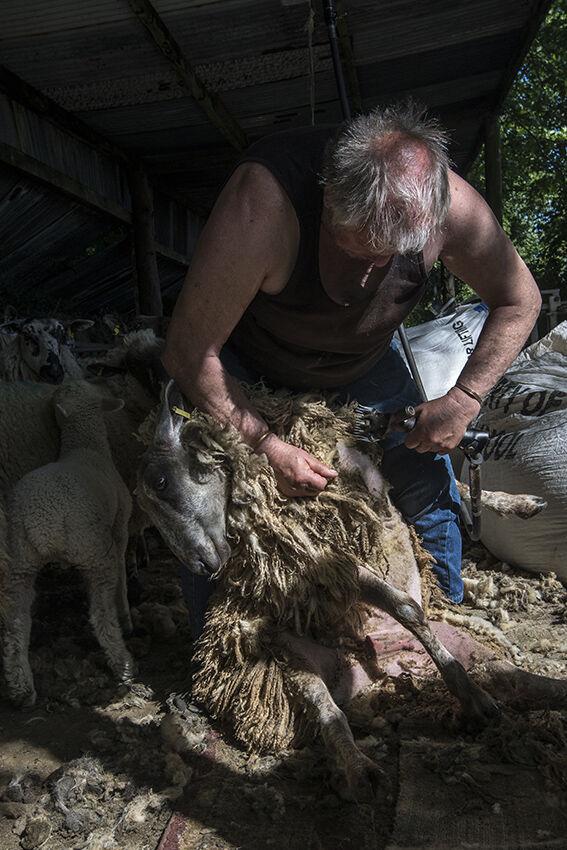 Sheep shearing.