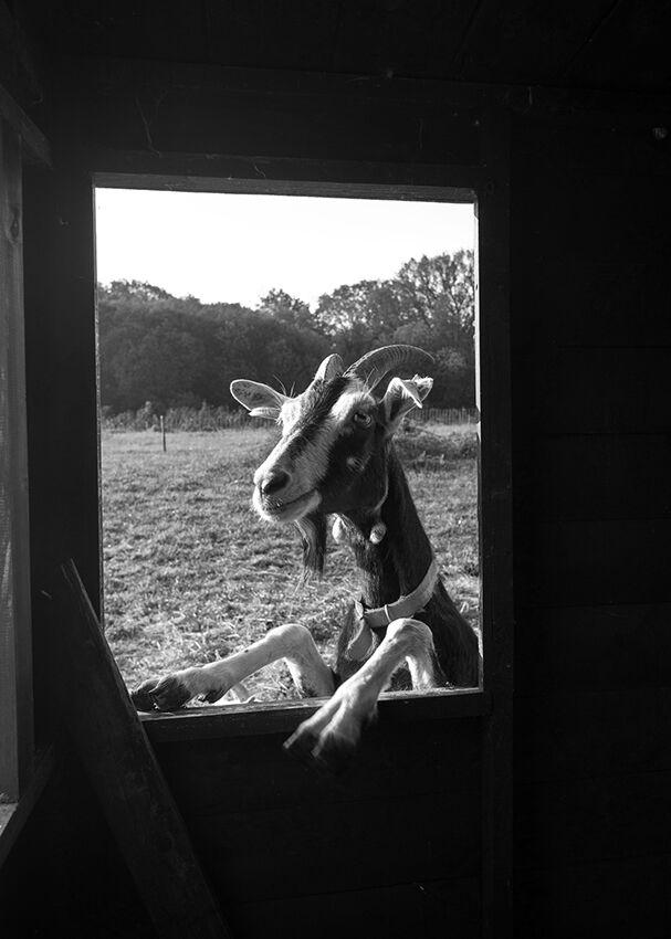 Curious goat.