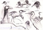 Assorted Bird Sketches