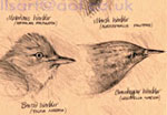 Warblers - Pencil drawings