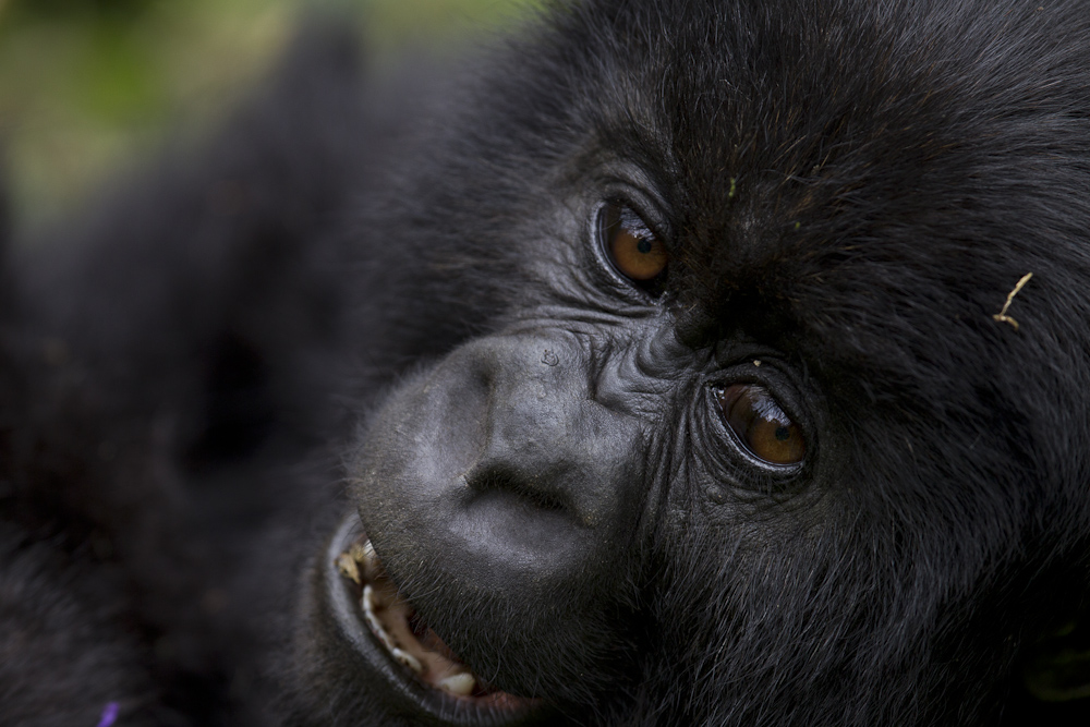 Eyes of a young gorilla.