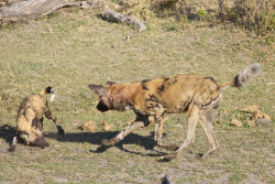 Wild Dogs at play.