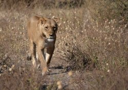Lioness on the move, Chobe NP, Botswana