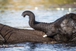 Swimming with mum.  Very young elephant rests on the back of its mother in deep water.  Chobe River.