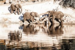 Time for a drink.  Elephants at the Chobe River, Botswana
