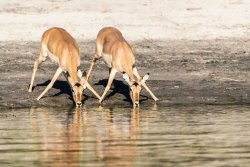 Wary Impala drinking, Chobe River