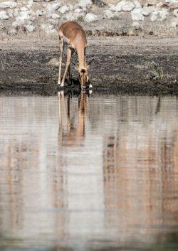 Impala drinks from the Chobe River, Botswana