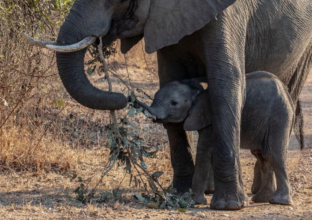 Mother and Calf, Elephants in South Luangwa
