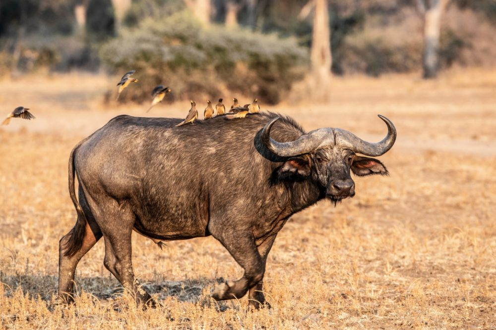 Incoming, Cape Buffalo and Ox-peckers