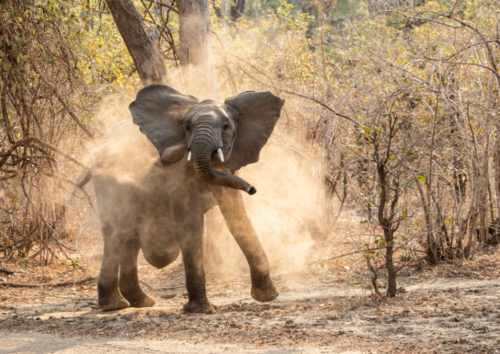 (Dust) Bath time, Elephant (with a hernia) in South Luangwa