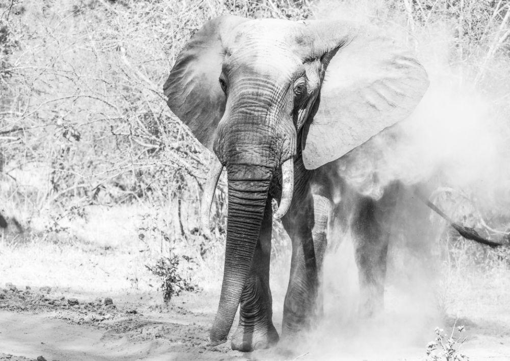 (Dust) Bath time, Elephant in South Luangwa
