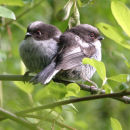 Long Tailed Tit fledglings