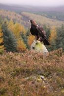 golden eagle0862