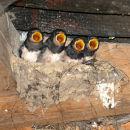 Swallow nest