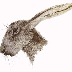 Hare sketch