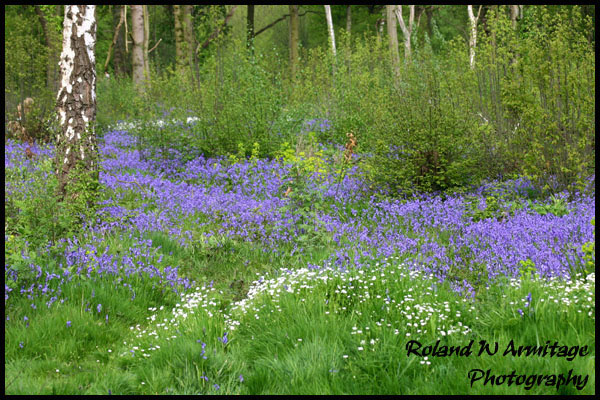 Bluebells - Essex