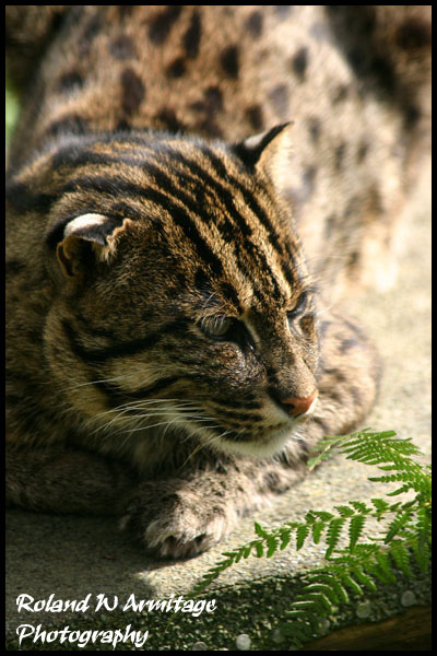 Fishing Cat - Kent