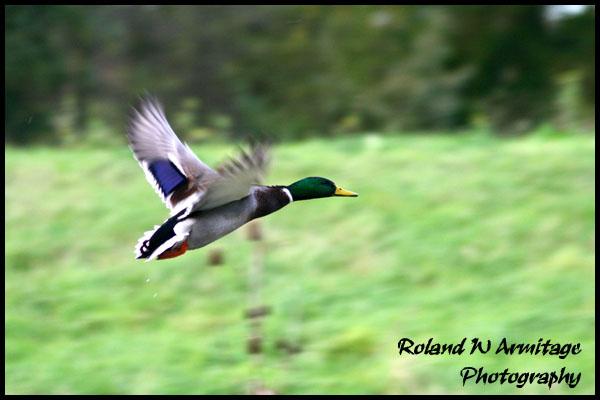 Mallard - In Flight