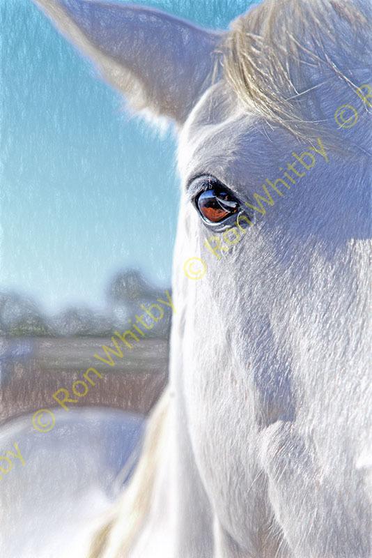 Camargue Horse #2