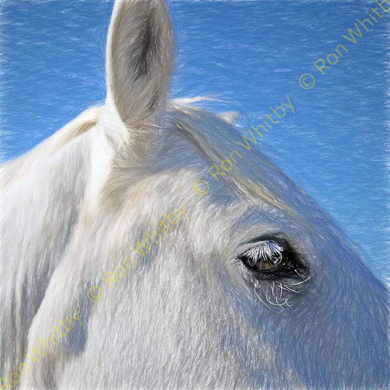Camargue Horse #1