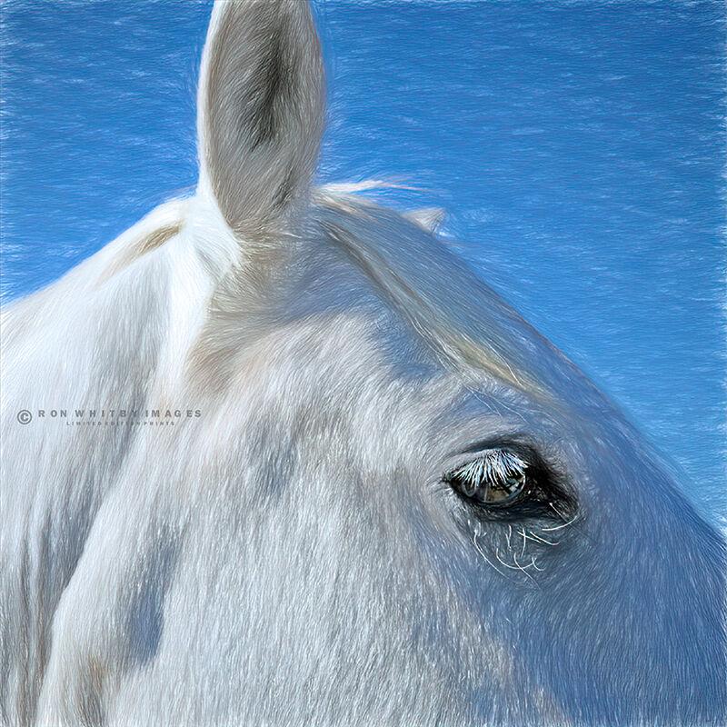 Camargue Horse no 1