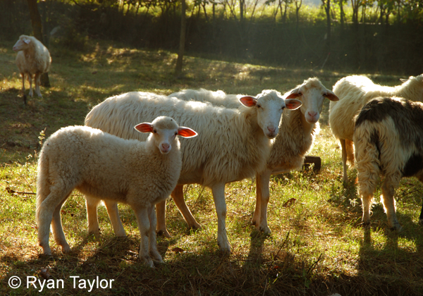 Sheep In Early Morning Sunlight
