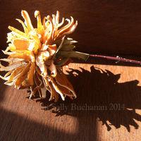 Clementine-Chrysanthemum