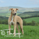 Lottie our lovely lurcher girl