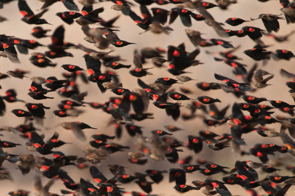 Flock of red winged black birds