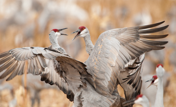 Sandhill cranes sorting out the pecking order
