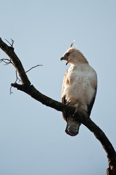 Changeable Hawk Eagle
