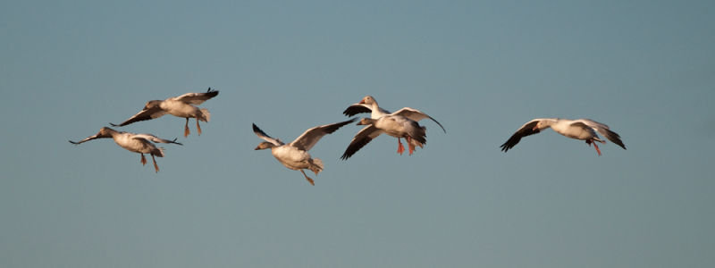 Snow geese group