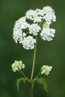 Cow parsley portrait