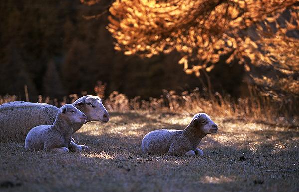 Autumn lambs