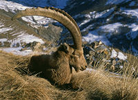 Old ibex